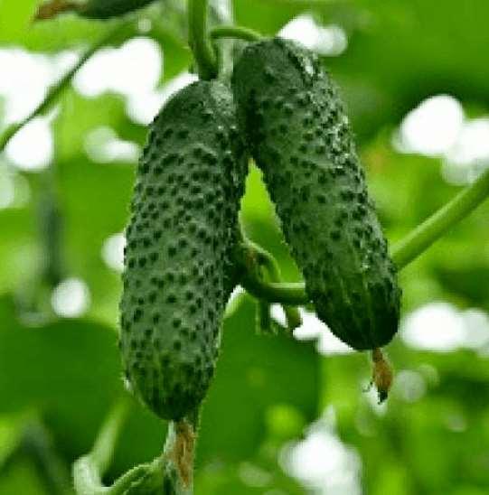 Качественные и доступные семена огурцов