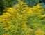 Польза от растения goldrute