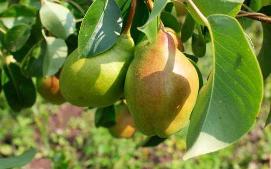 Деревья крупномеры груши от компании «Любимый сад»